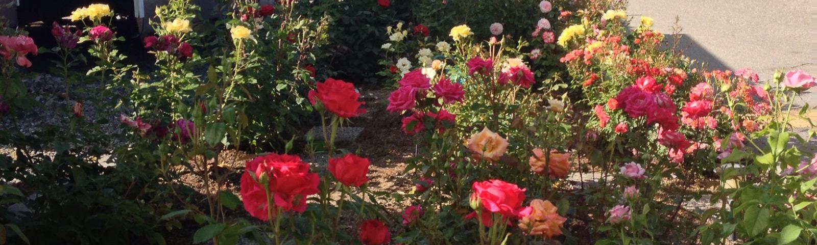 Paradise Park Rose Garden